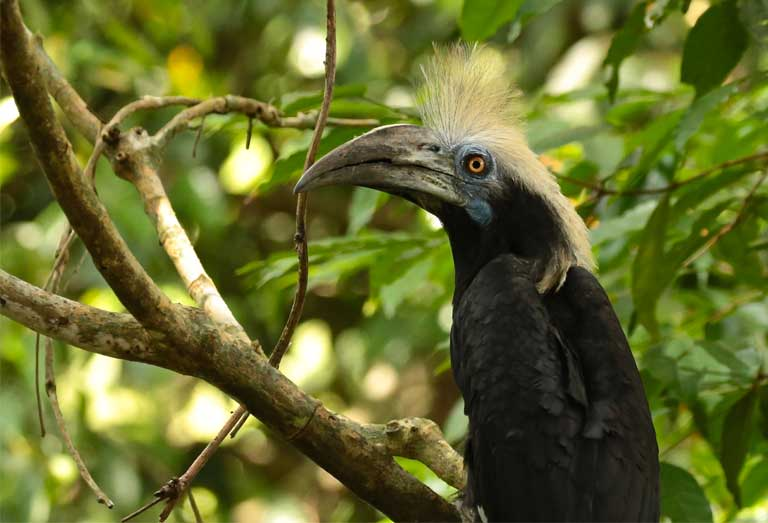 White-crowned hornbills use various parts of the SAFE landscape, but are often seen seeking refuge alongside rivers with ample trees alongside. A corridor's health and viability can be judged by the diversity of wildlife using it. Photo by Simon Mitchell, DICE-University of Kent