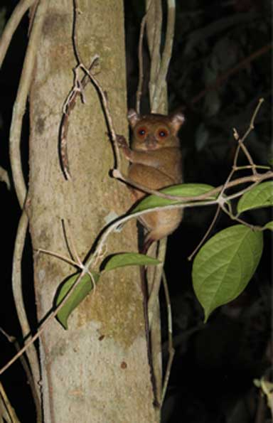 A rare glimpse of a tarsier, spotted during an evening bat survey within an oil palm riparian reserve several kilometers from intact forest. Photo by Kat Mullin, DICE-University of Kent