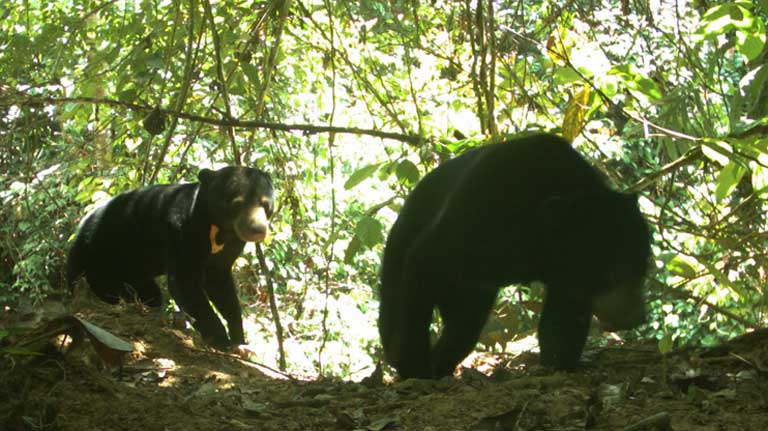 Sunbears have been recorded across the logged over landscape at SAFE, and infrequently in new riparian reserves. Photo by Esther Baking, Universiti Malaysia Sabah and Nick Deere, DICE University of Kent