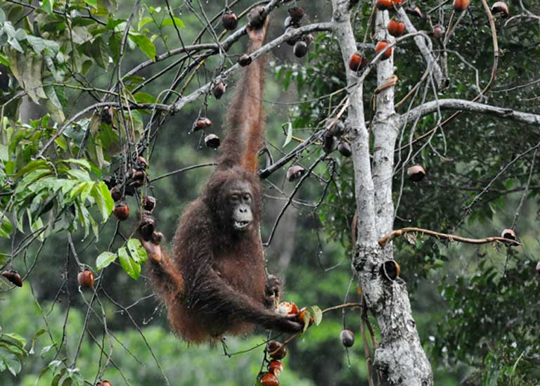 Orangutans have been observed feeding, and with young, in riparian zones at SAFE. Photo by Simon Mitchell, DICE-University of Kent