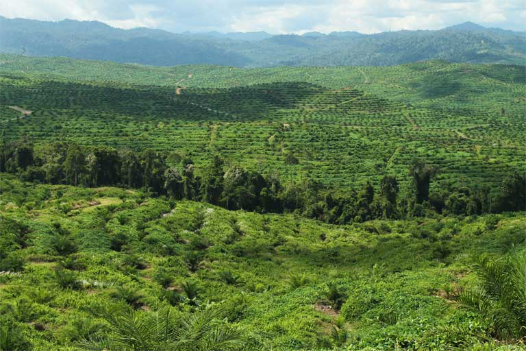 Riparian reserves often contain the only forest vegetation for several kilometers in oil palm areas, and may play an important role in landscape connectivity for wildlife. Photo by Matt Struebig, DICE-University of Kent