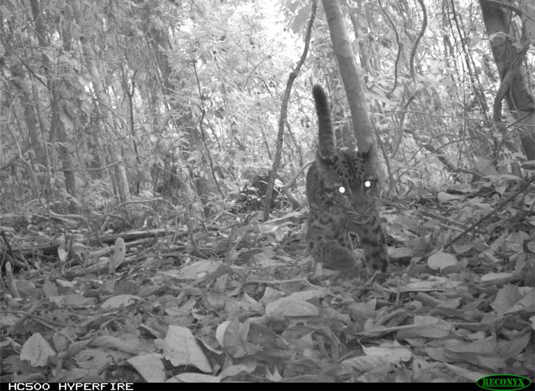 Clouded leopards are highly threatened, and sometimes captured on cameras at SAFE. There are several records from riparian zones. Photo by Esther Baking, Universiti Malaysia Sabah and Nick Deere, DICE University of Kent