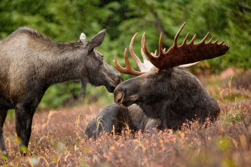 A pair of Alaskan moose. Photo by Ryan Hagerty, USFWS/CC by 2.0