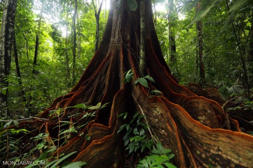 Osa rainforest tree in Costa Rica. Photo by Rhett Butler.