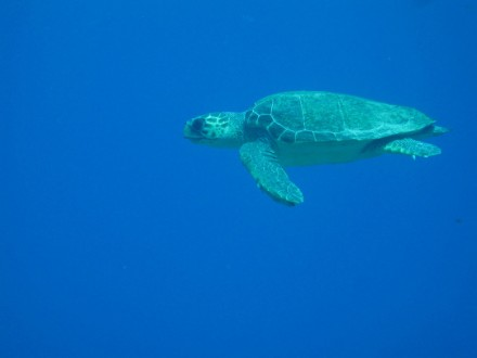 Loggerhead turtle in Chora Sfakion, Crete, Greece. Photo by Nektarios Sylligardakis/CC by 2.0