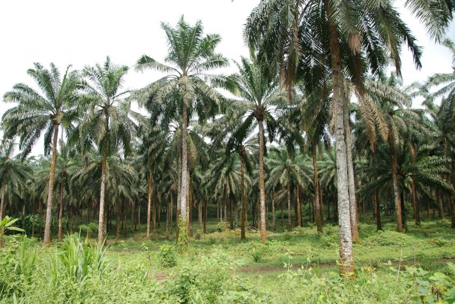 An established oil palm plantation outside Limbe, Cameroon. Photo by John C. Cannon.