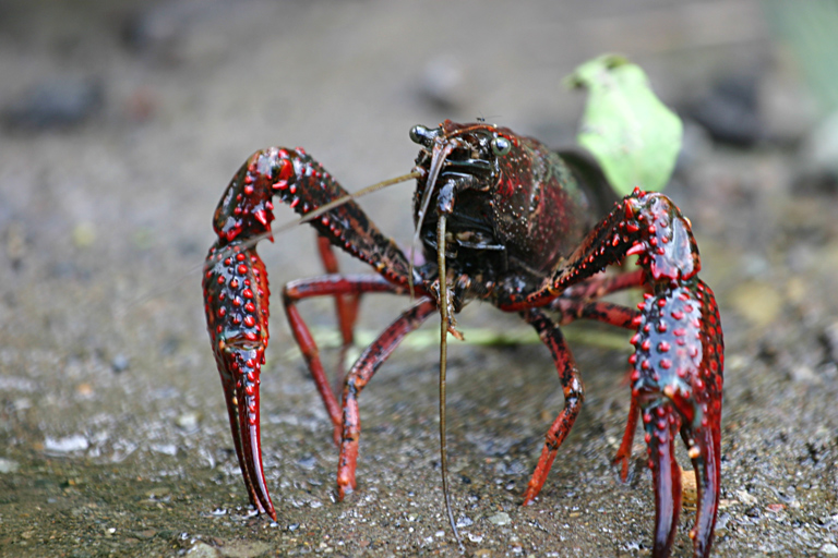 Procambarus clarkii, the invasive crayfish at the center of an environmental battle in Isla Mayor, Spain. Photo by Mike Murphy/Wikimedia Commons.
