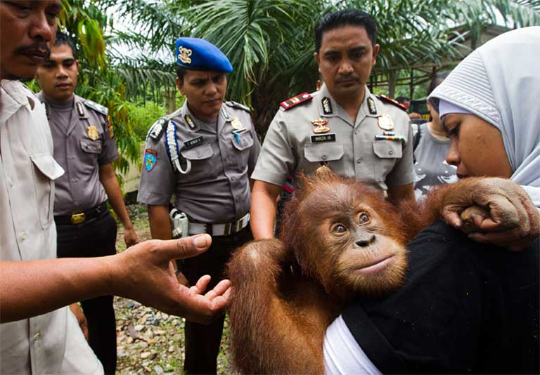 Wildlife traders pictured with a Critically Endangered Sumatran orangutan. Photo by Paul Hilton