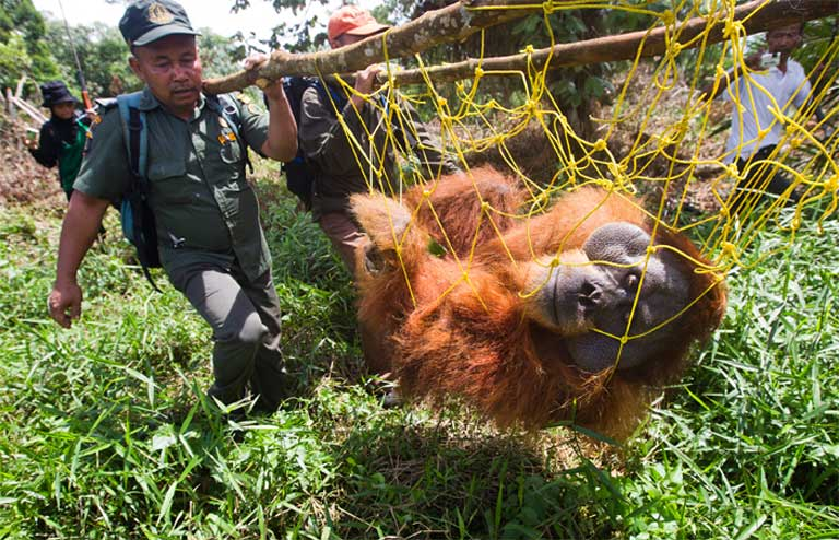 A large male orangutan is rescued and relocated after his home forest was destroyed for oil palm expansion in Indonesia's Tripa peat swamp. Photo by Paul Hilton