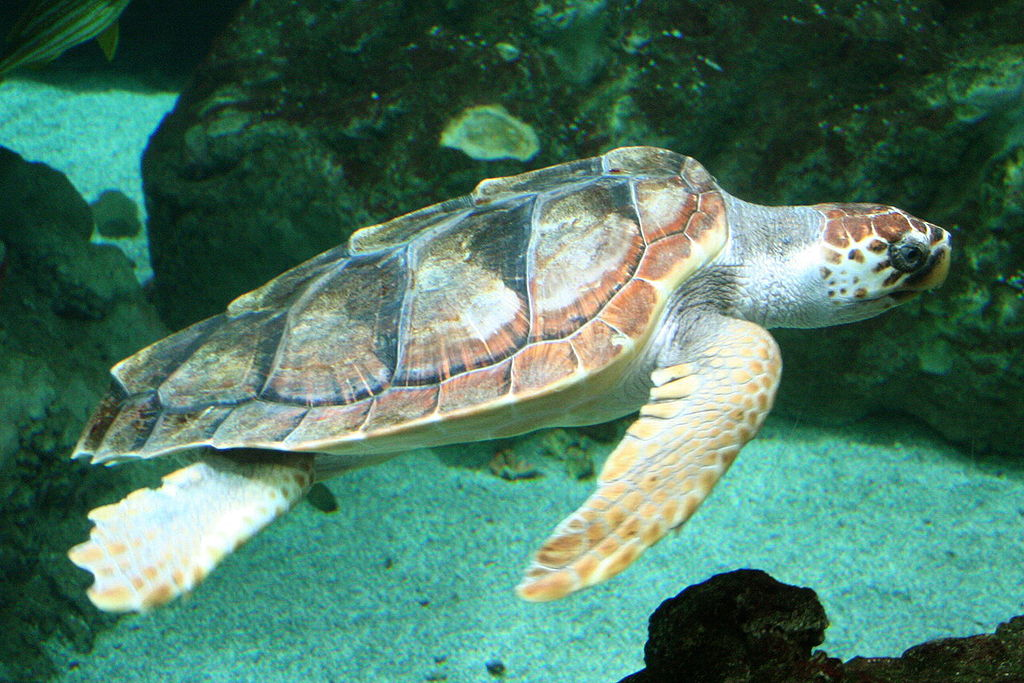 A high proportion of loggerhead turtles are dying early in the Mediterranean because of entanglement in fishing nets. Photo by Strobilomyces, Wikimedia Commons, CC By-SA 3.0.