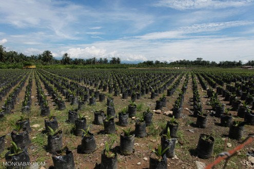 Oil palm seedlings grow where rainforest used to stand. Photo by Rhett A. Butler