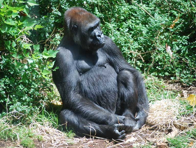 A Western Lowland gorilla. Photo (c) Robert Lynch. CC0 1.0 Universal Public Domain