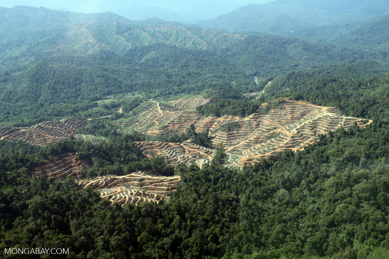 Better land use planning is urgently needed in Africa, if larges scale destruction of prime great ape habitat is to be prevented. Seen here is a new oil palm plantation in Sabeh Malaysia. Photo by Rhett A. Butler