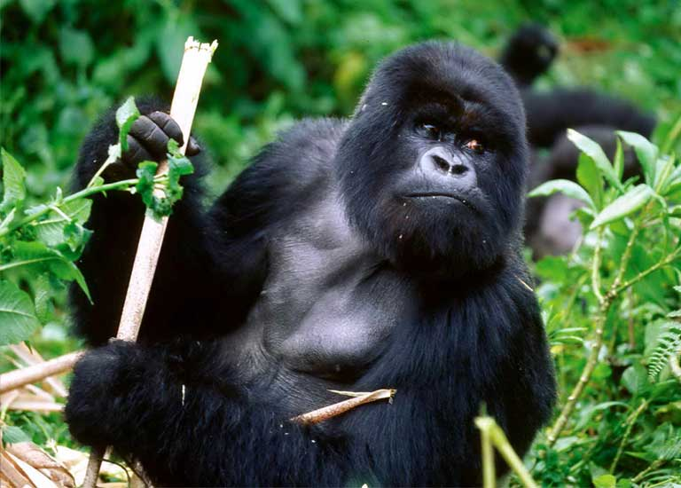 A Cross River gorilla. Photo (c) Richard Ruggiero, courtesy of the USFWS.