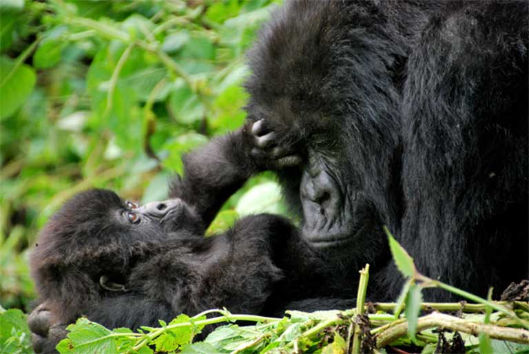 Mother and baby mountain gorillas. Photo (c) Carine06, Creative Commons Attribution-Share Alike 2.0 Generic