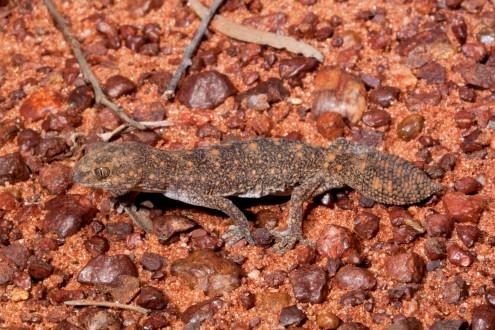 Diplodactylus_ameyi_Credit_Steve_Wilson