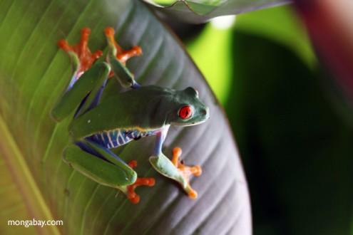 Red-eyed tree frog in Gamboa, Panama. Photo by Rhett Butler.