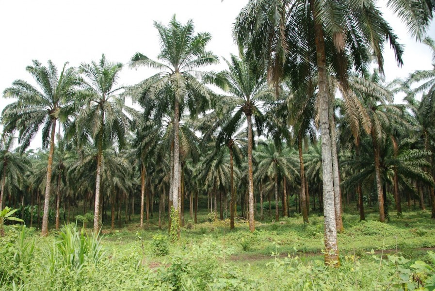 Oil palm plantations outside Limbe.