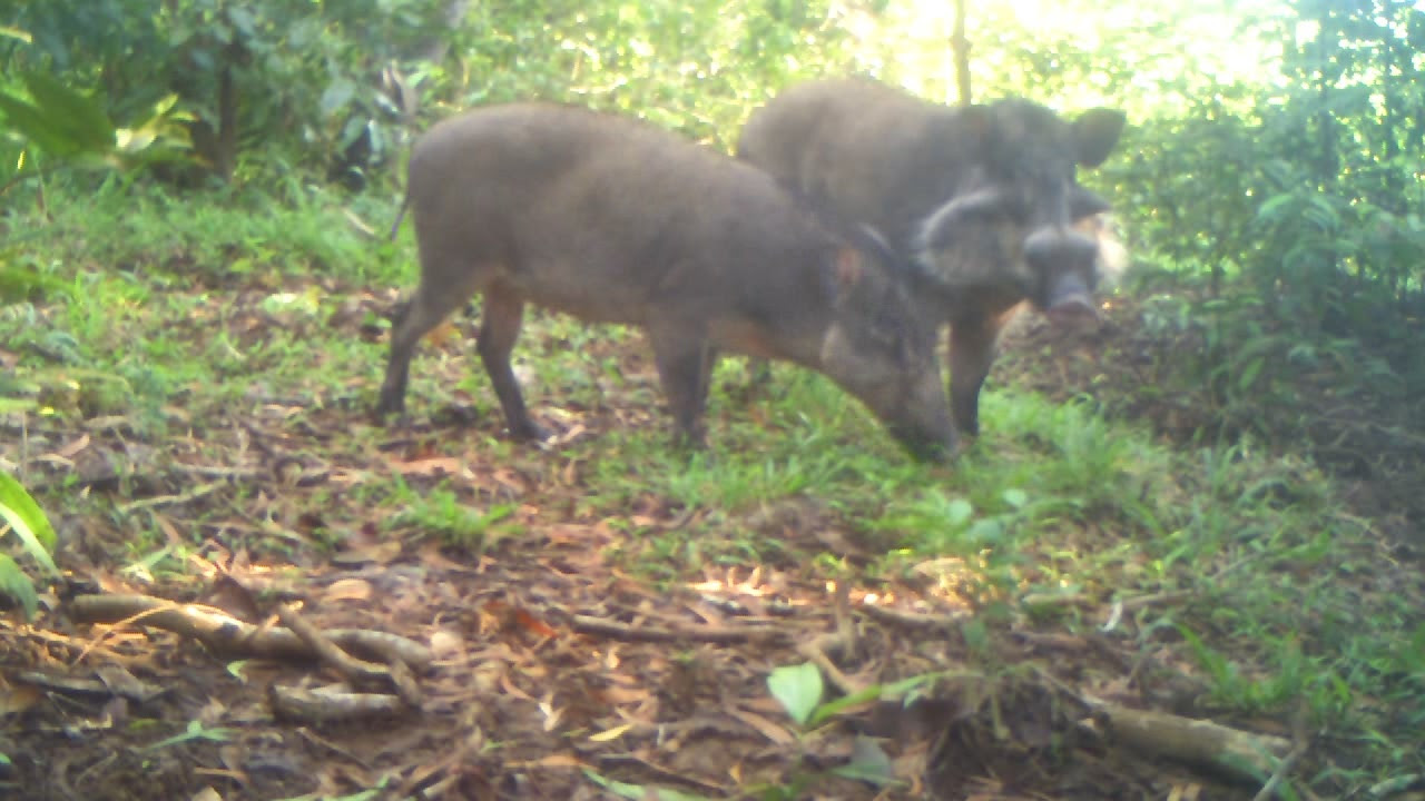 Camera traps have captured some of the first-ever footage of the elusive Bawean warty pigs, one of the rarest pig species in the world. Photo courtesy of Bawean Endemics Conservation Initiative, BEKI.