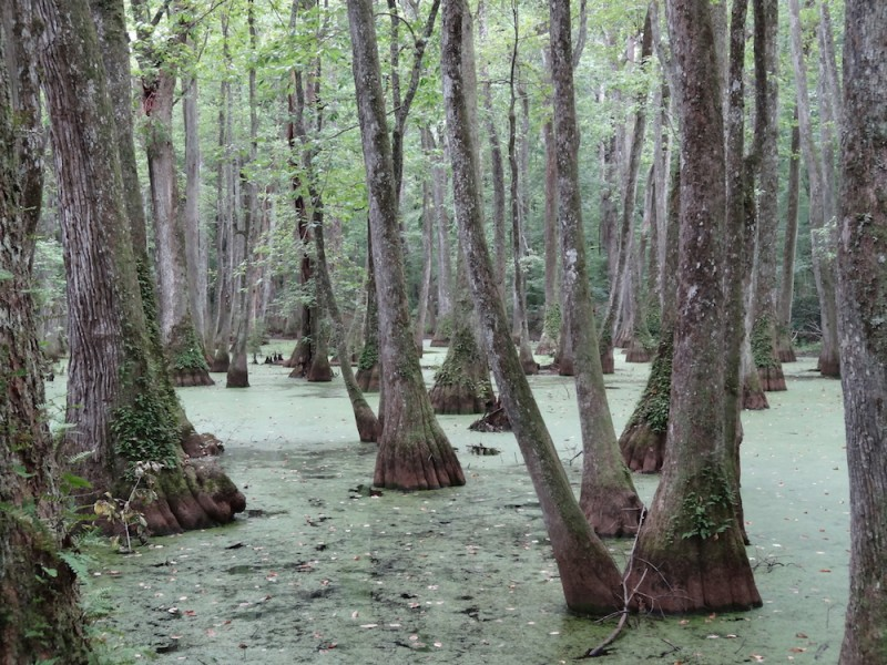 A cypress swamp in Mississippi. Photo by Nick Shields via Wikimedia Commons (CC 2.0).
