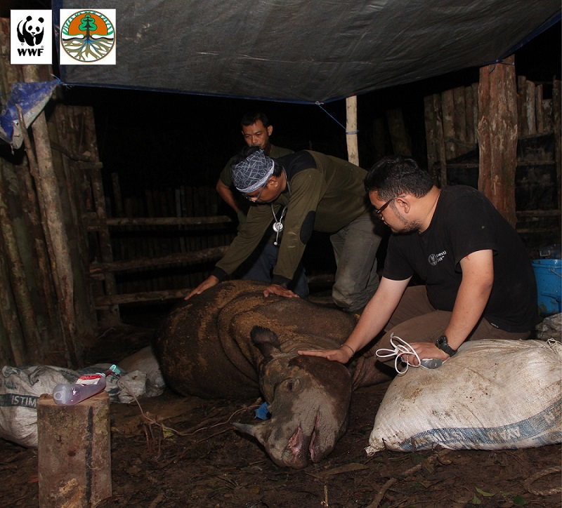 Veterinarians care for Najaq in her final days. The Sumatran rhino is one of the last of her kind. Photo by Sugeng Hendratno/WWF-Indonesia