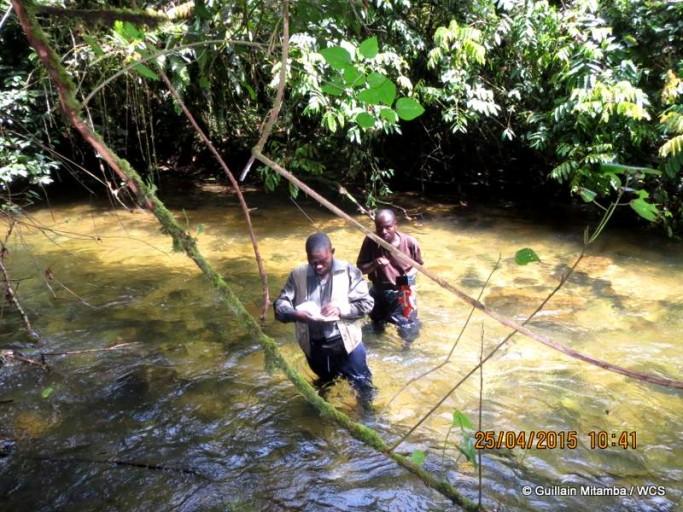 WCS's Guillain Mitamba conducting transect surveys. Photo courtesy of Andrew Kirkby / WCS.
