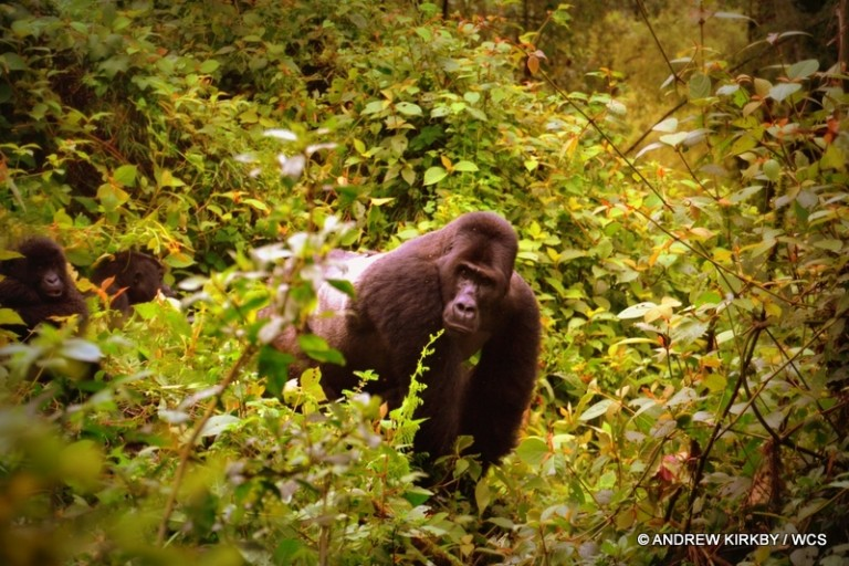 Silverback male Grauer's gorilla in Kahuzi-Biega National Park. Photo courtesy of WCS.