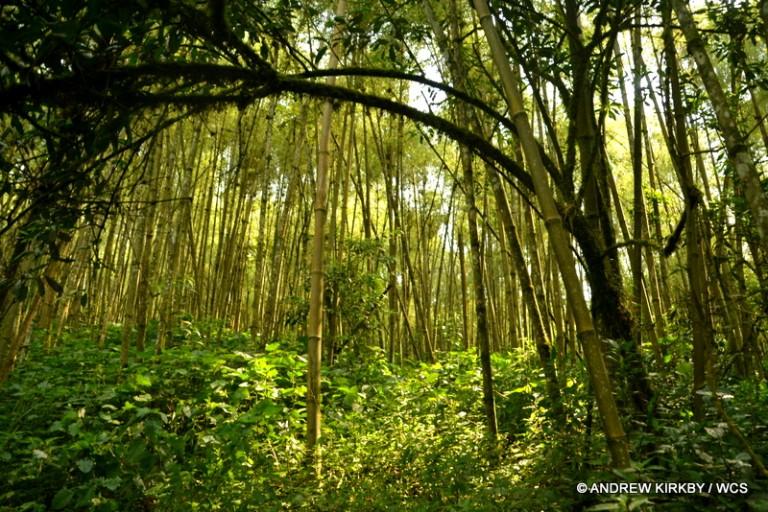 Bamboo forest, prime gorilla habitat in Kahuzi-Biega National Park. Photo courtesy of Andrew Kirkby / WCS.