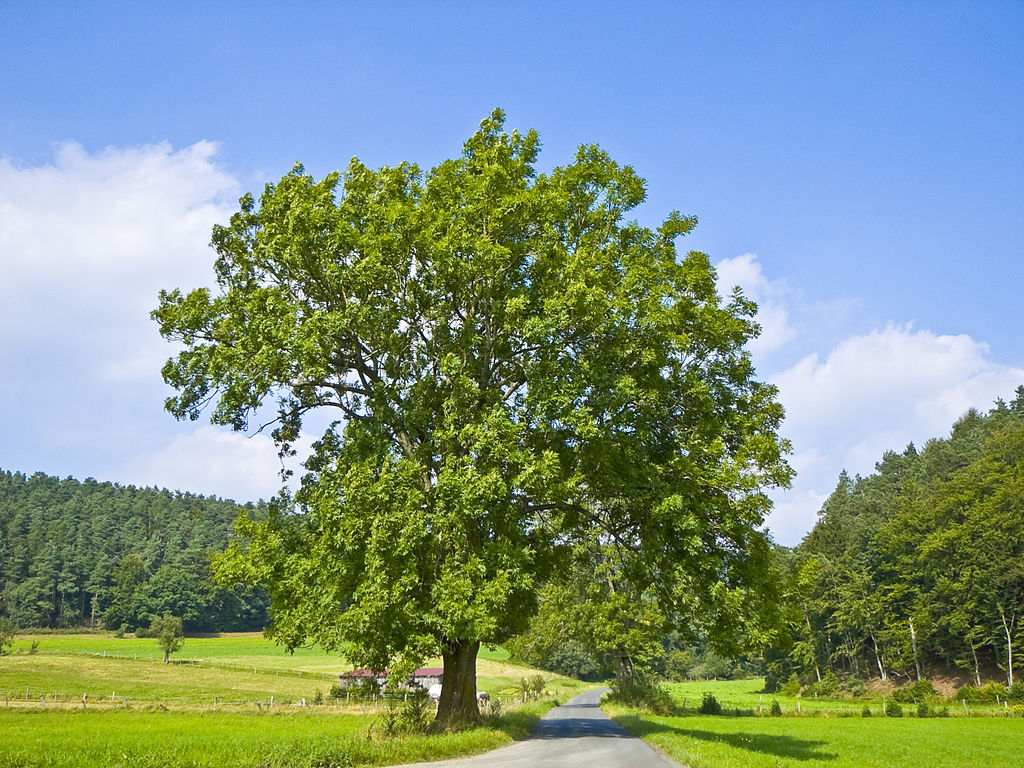 European Ash (Fraxinus excelsior) in the Burgwald, Hesse, Germany. Photo by Willow, Wikimedia Commons, CC By-SA 2.5.