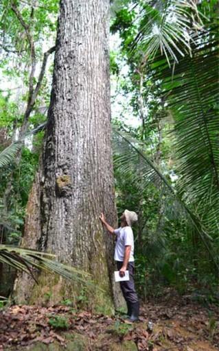 Biologist Ricardo Scoles examining a Brazi nut tree. Photo by Natalia Guerrero