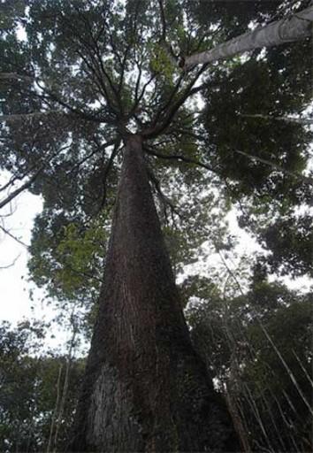 Brazil nut tree. Photo by Ricardo Scoles