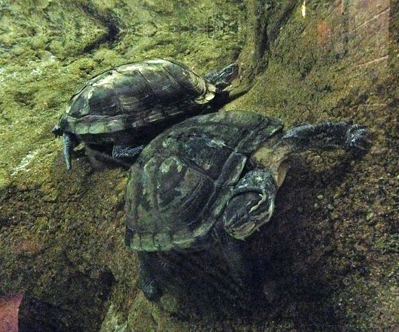 Study found several threatened species for sale in Lao PDR's wildlife markets, such as the critically endangered Vietnamese pond turtle. Photo by Fredlyfish4, Wikimedia Commons, CC By-SA 3.0.