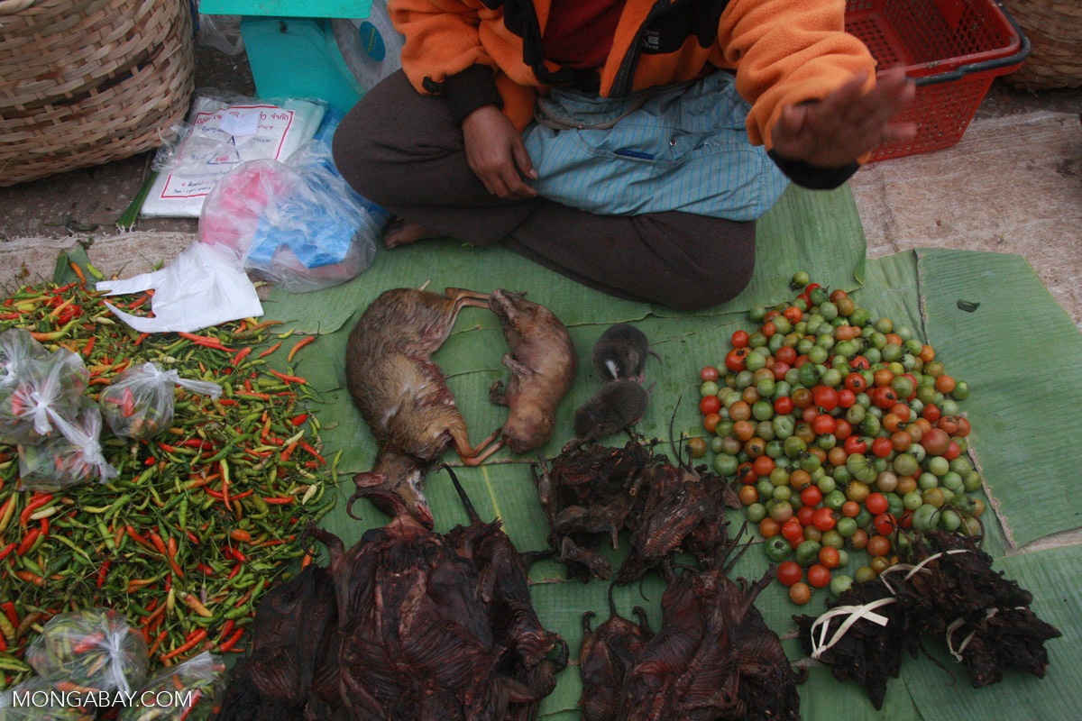 Mouse deer and bamboo rats in the Luang Prabang morning market, Laos. Photo by Rhett Butler.