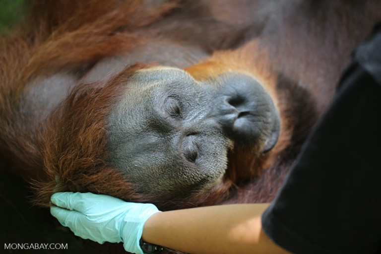 Giving an adult male orangutan a health check in North Sumatra, Sumatra Indonesia. Photo by Rhett Butler.