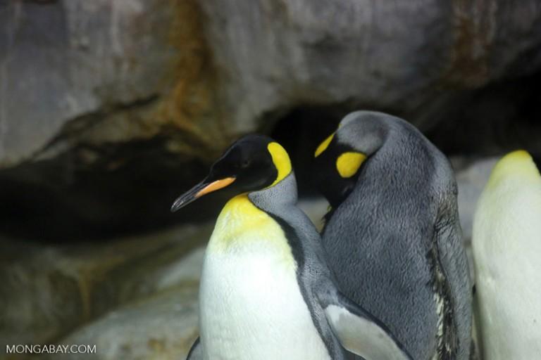 King penguins, photo by Rhett Butler.