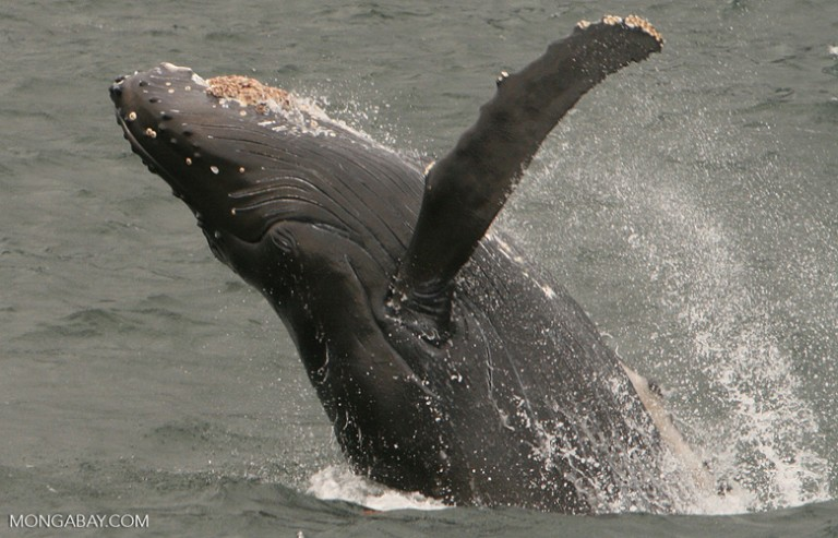 Humpback whale breaching in Alaska's Inside Passage, Alaska United States. Photo by Rhett Butler.