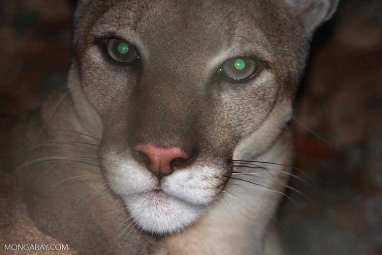 Mountain lion (Puma concolor) in Belize. Photo by Rhett Butler.