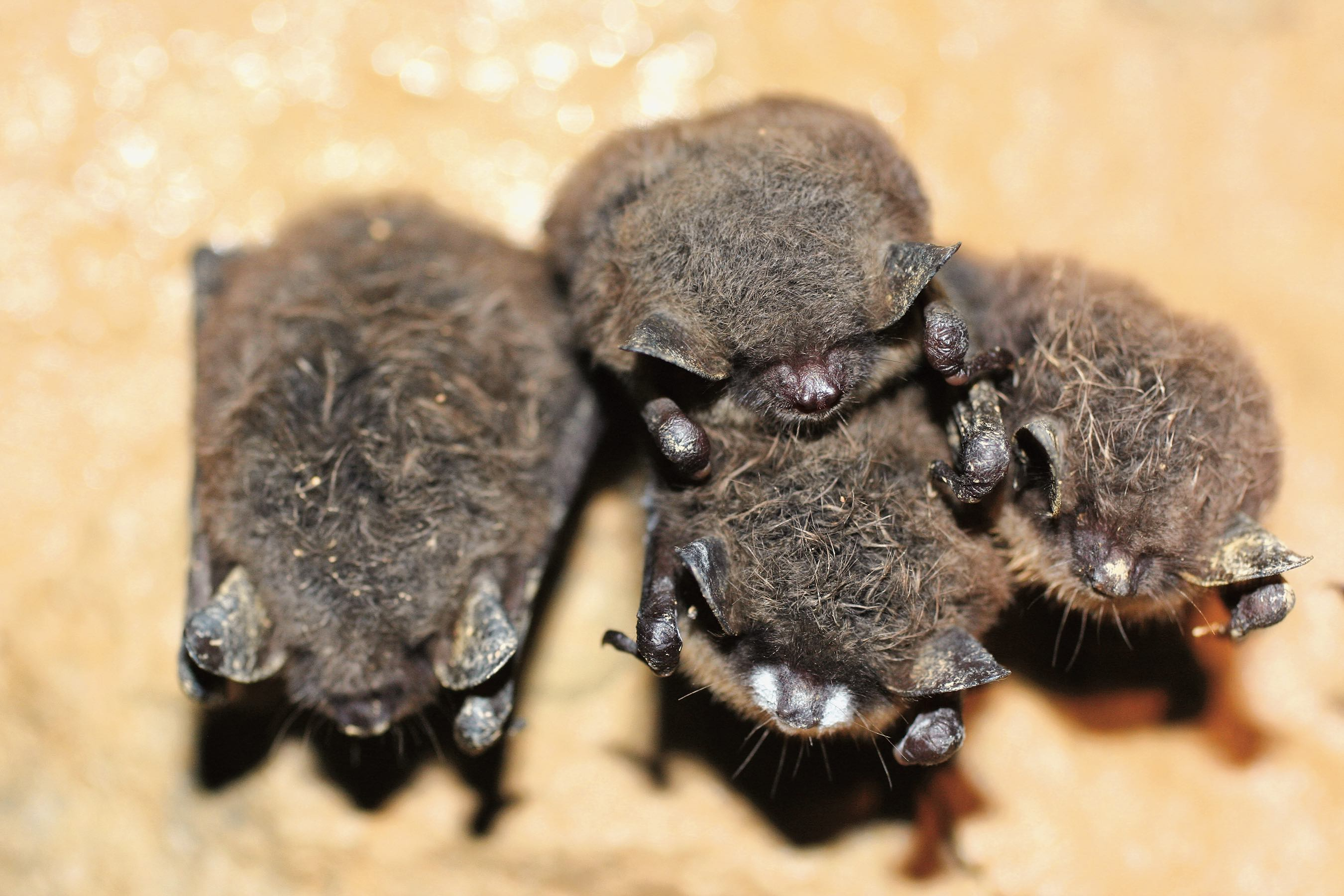 Little brown bat with white-nose syndrome. Photo by Michael Schirmacher, Bat Conservation International.