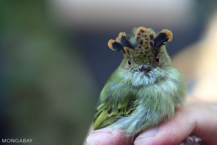 The scale-crested pygmy tyrant lives in Central America and northern South America. This individual was capturing during a bird survey, banded, and released. Photo by Rhett A. Butler.