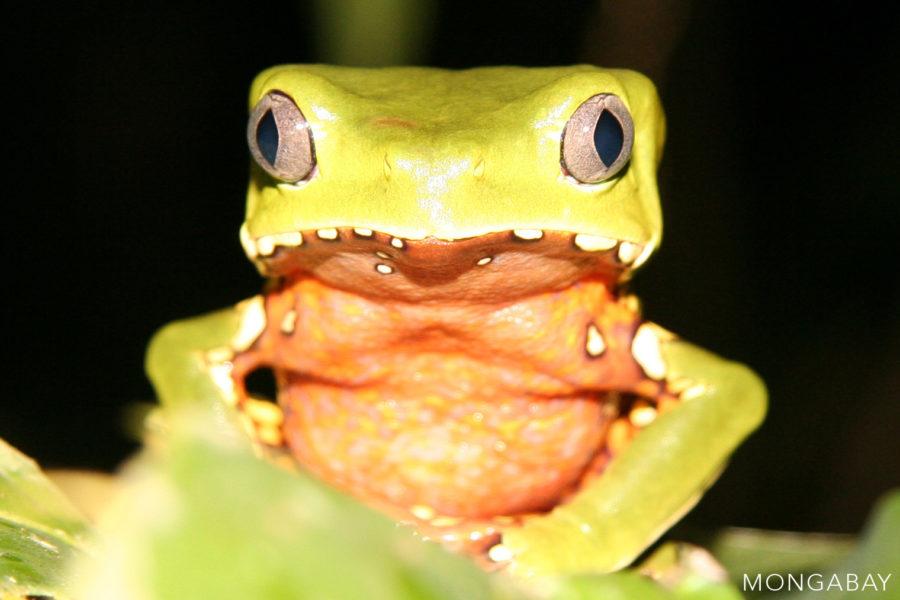 The giant monkey frog lives across the Amazon rainforest. Photo by Rhett A. Butler.