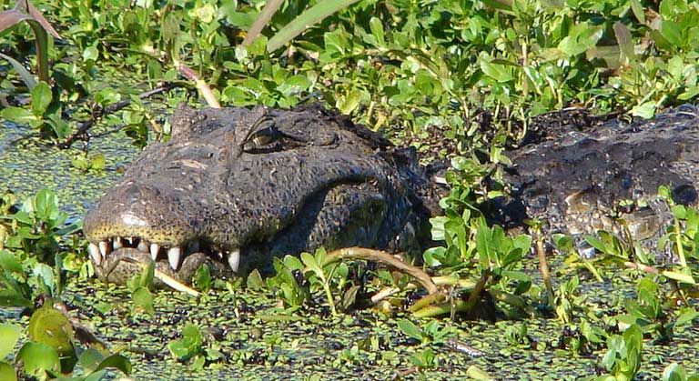 The broad-snouted caiman is a hazard most golfers would likely prefer not to meet. Photo by Cláudio Dias Timm on Flickr