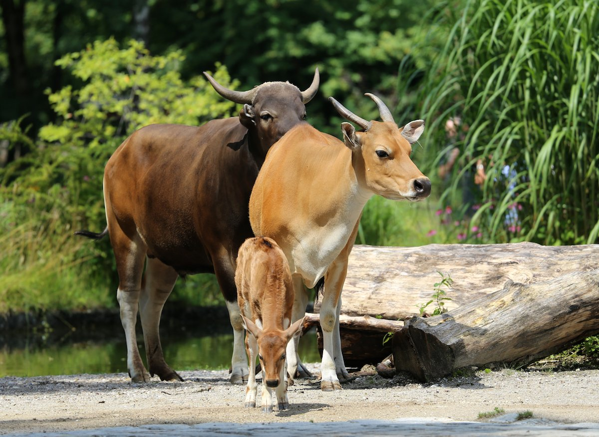 The banteng (Bos javanicus) is an endangered wild bovid. It has declined 90 percent in Cambodia between the 1960s and 1990s. Photo by Rufus46 via Wikimedia Commons (CC 3.0).