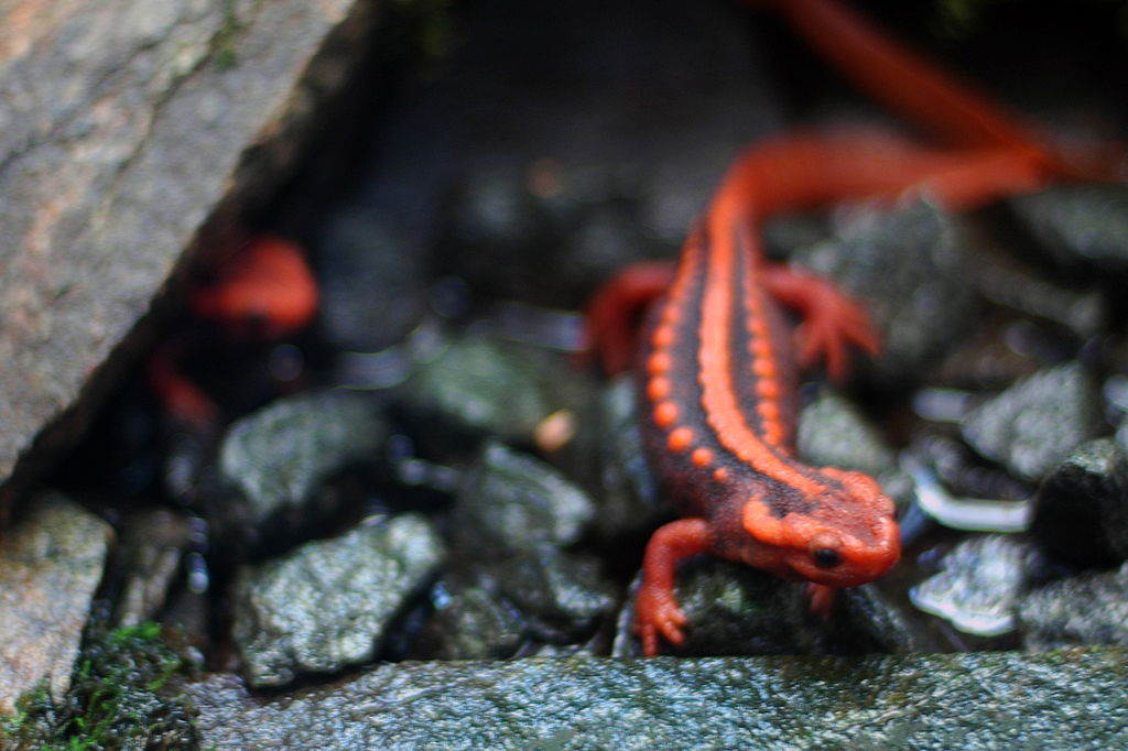Emperor newt is another commonly traded species of newt. Photo by Jeff Kubina, Wikimedia Commons CC BY-SA 2.0.