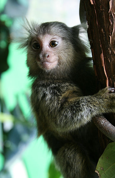 Brazilian marmosets (Callithrix jacchus) like this one, and capuchin monkeys (Sapajus libidinosus) have been found with the Zika virus. Photo by Manfred Werner / Tsui licensed under the Creative Commons Attribution Share Alike 3.0 Unported license