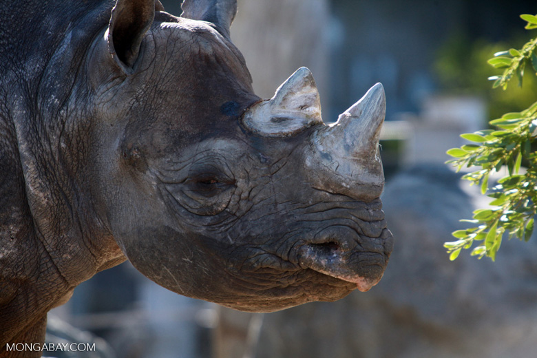 Female black rhino, photo by Rhett Butler.