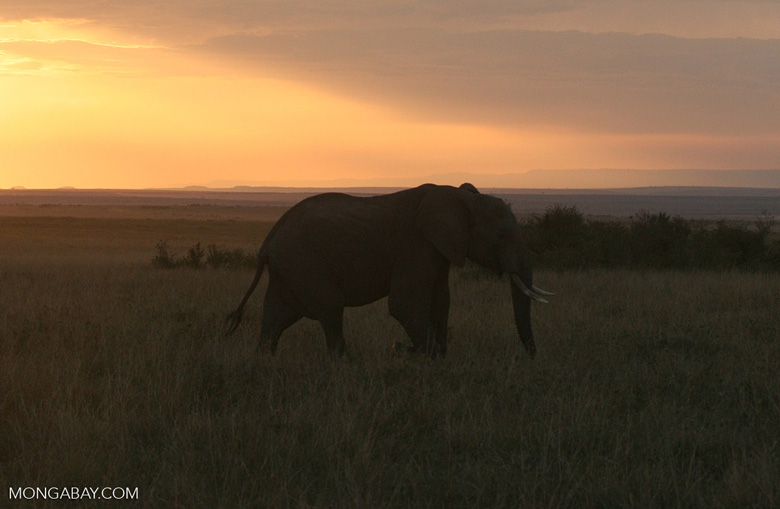 Elephant at sunset in East Africa, photo by Rhett Butler.