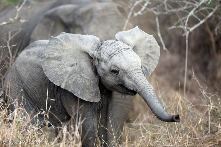 Elephant in South Africa. Photo by Rhett A. Butler for Mongabay.