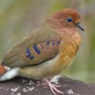 The Critically Endangered Blue-eyed Ground-dove © Rafael Bessa