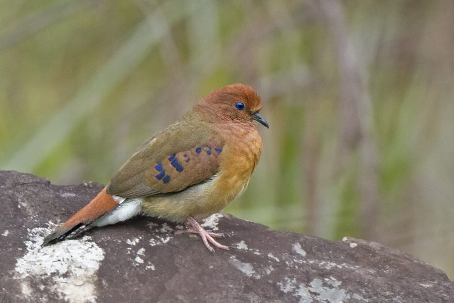 The Critically Endangered Blue-eyed Ground-dove © Rafael Bessa