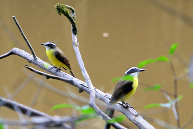 Great kiskadees (Pitangus sulphuratus) in Yasuni National Park in the Ecuadorian Amazon. Photo by Jeremy Hance.